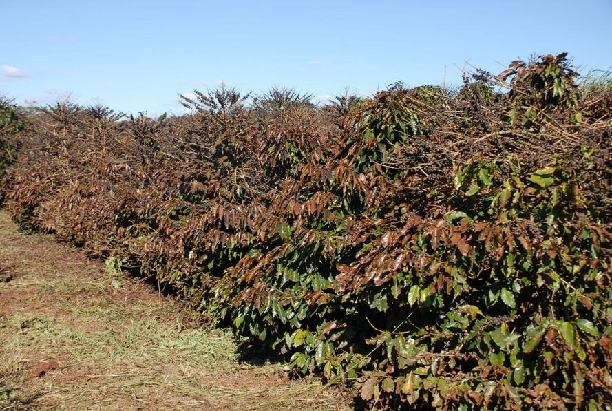 Além do boletim diário, se houver aproximação de massas de ar frio com potencial de causar danos às lavouras de café, é emitido, e amplamente divulgado, um pré-alerta com 48 horas de antecedência