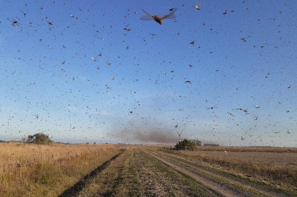 A Secretaria de Agricultura do Rio Grande do Sul orienta os produtores rurais gaúchos a informar a Inspetoria de Defesa Agropecuária da sua localidade se identificar a presença de tais insetos em grande quantidade