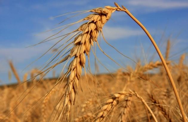 Clima favorece o cultivo do trigo no Paraná