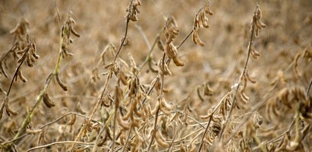 """Paraná tem 97% das lavouras de soja em condições """"boas"""""""